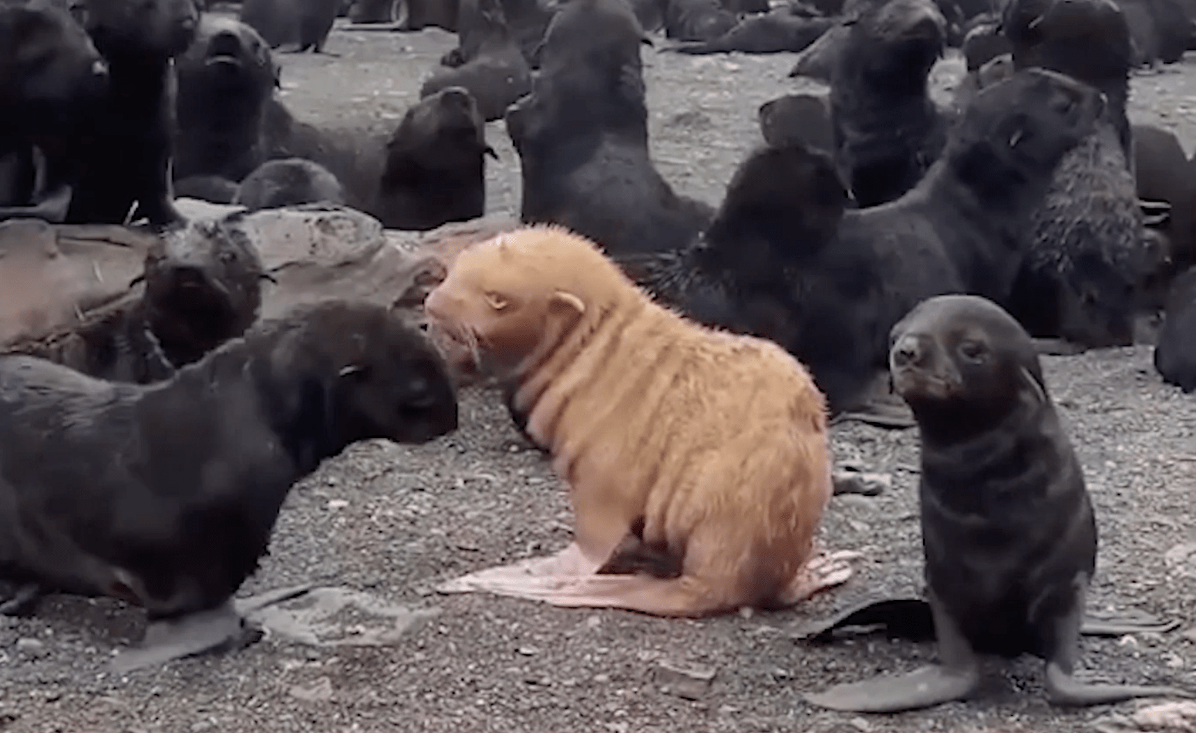 Albino Fur Seal Making Fans Worldwide